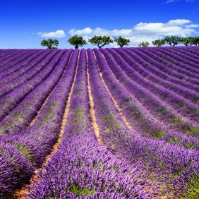 Lavender fields with C the World
